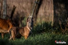 IMG_4073 (hellandcom) Tags: schipperke malinois chiens animalier