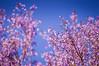 "Pink Trumper Tree <a style=""margin-left:10px; font-size:0.8em;"" href=""http://www.flickr.com/photos/41134504@N00/16728908893/"" target=""_blank"">@flickr</a>"