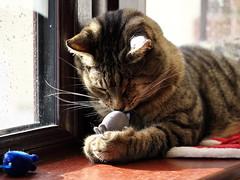 (turgidson) Tags: ireland pet 6 eye animal cat studio lens mouse four one feline raw zoom olympus x telephoto developer gato micro pro wicklow f28 bray omd thirds tinker oneeye vario m43 silkypix permawink em5 35100mm 35100 mirrorless microfourthirds olympusem5 olympusomdem5 panasonic35100 panasoniclumixgxvario35100mmf28 hhs35100 silkypixdeveloperstudiopro6 p5064401