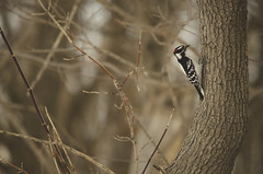 Searching for a Snack (flashfix) Tags: trees ontario canada bird nature lines downywoodpecker nikon bokeh branches ottawa springiscoming warmtones 2015 softexposure maledownywoodpecker mothenature d7000 nikond7000 dryobatespubescens 55mm300mm 2015inphotos march102015
