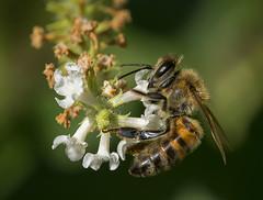 Honey Bee Nectaring on Sweet Almond Bush-Aloysia virgata, Fairchild Tropical Botanic Garden. (pedro lastra) Tags: macro animal insect outdoor tamron 90mm vc apis mellifera macroactionphotography