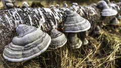 Kääpä / Fungi (Tuomo Lindfors) Tags: suomi finland koivu fungus birch iisalmi dfine colorefexpro kääpä niksoftware viveza museumoflocalhistory sharpenerpro theacademytreealley yläsavonkotiseutumuseo