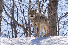 Coyote (Eunice Gibb) Tags: coyote park quebec wildlife animaux parc parcomega montebello