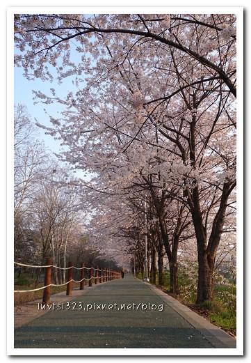 양재천벚꽃09