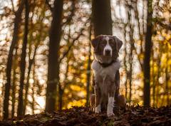 Yuma (arkaniyuma) Tags: light dog fall dogs backlight bokeh shepherd australian hund aussie leafs autmn gegenlicht