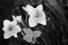 yellow friends (andymudrak) Tags: blackandwhite bw white flower grass yellow three calm trio plantlife