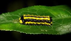 Chalcosiine Day-flying Moth Caterpillar (Pidorus atratus, Chalcosiinae, Zygaenidae) (John Horstman (itchydogimages, SINOBUG)) Tags: china macro insect moth lepidoptera caterpillar yunnan larva zygaenidae chalcosiinae itchydogimages sinobug