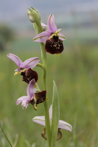 Late Spider Orchid - Ophrys holoserica