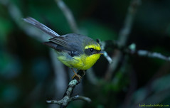 / Yellow-bellied Fantail / Chelidorhynx hypoxantha (bambusabird) Tags: birds thailand nikon rainforest tropical chiangmai oriental doiinthanon fantail ife foreat bambusabird