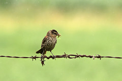 Tricky Business (Doris Burfind) Tags: bird nature fence insect wire rust outdoor farm redwingedblackbird