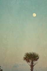 Full Moon and Palm Tree (Chickens in the Trees (vns2009)) Tags: blue sunset sky moon tree green vertical twilight crossprocessed warm dusk wideangle palm fullmoon tropical affected layered primelens texturized