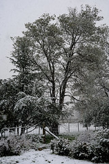 _RC706263_Let it snow_Let it snow (CASSIDY PHOTOGRAPHY) Tags: trees pinetree snow letitsnow