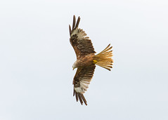 Red Kite (robertcampbellphotography) Tags: redkite bird predator raptor birdofprey