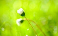impression de lumire (christophe.laigle) Tags: flow fleur macro flower fuji daisy lumire xpro2 pquerette ngc