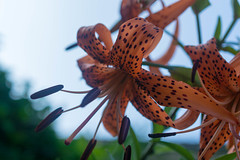 DSC_6016.jpg (kTomoyuki) Tags:  lily  tigerlily