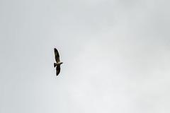 Osprey (Ashcroft.Steven) Tags: dumfries dumfriesandgalloway england galloway scotland unitedkingdom birdsofprey greatbritian newgalloway osprey