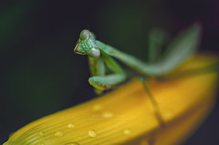 I'm coming for you.... (victoria schweiss) Tags: mantis prayingmantis nikon d7000 insect macro