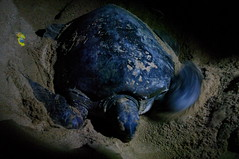Night Tour Turtle, Cherating, Malaysia (ARNAUD_Z_VOYAGE) Tags: city sea west beach nature landscape island coast boat town asia village state turtle south capital east national malaysia federal sanctuary kuantan pahang cherating territory northeastern