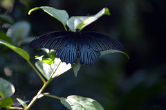 Black Butterfly (Isabel-Valero) Tags: black nature beautiful butterfly cambodia pretty centre siem reap mariposa banteay camboya srey