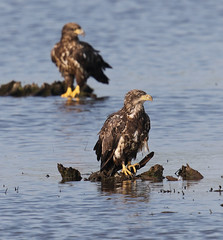 Young Eagles (rivadock4) Tags: american bald eagle bombay hook nwr delaware bay birding trail eagles americanbaldeagle bombayhooknwr delawarebay delawarebirdingtrail