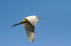 (chana4 ( Nancy Charlton)) Tags: aigrette blanc ciel bleu bec ailes