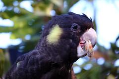 Yellow Tailed Black Cockatoo parrot (Calyptorhynchus funereus) (neeravbhatt) Tags: yellow tailed black cockatoo calyptorhynchus funereus australian australia native bird parrot