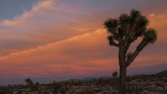 Joshua Tree (Matthew Takata) Tags: california sunset tree silhouette landscape nationalpark fuji desert joshuatree fujifilm