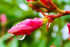 It's raining ... (Kat-i) Tags: pink flowers summer macro nature water rain outside bayern deutschland wasser sommer natur rosa blumen raindrops kati makro oleander regen katharina 2016 regentropfen nikon1v1