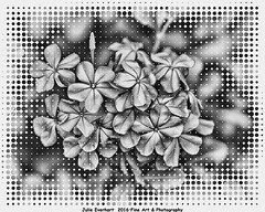 Plumbago in BW ( julev69  1,900,000+ Views- THANK YOU!) Tags: blackandwhite bw art framed halftone plumbago hdr julev69 julieeverhart