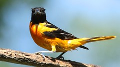 I hate Mondays (ricmcarthur) Tags: bird nature rondeau baltimore baltimoreoriole oriole icterusgalbula ricmcarthur rondeauric rickmcarthur