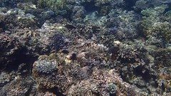 DJIBOUTI (26 of 88) (GregoireDubois) Tags: djibouti nature sea diving wildlife corals