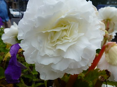 White Flower ! (Mara 1) Tags: white begonia petals outdoors