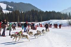Switzerland Dog Sledding (Avril Espinosa-Malpica) Tags: winter alps dogs race huskies sled