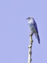 Mountain Bluebird (record shot only) (keithricflick) Tags: mountain bluebird beaverlakeroad