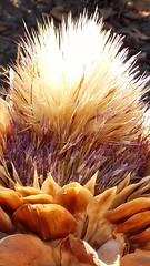 Carciofo fiorito (Rosamaria Rizzato) Tags: artichoke carciofo secco nature