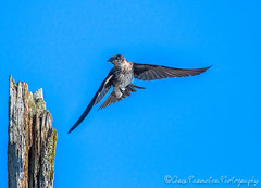 Purple Martin (Chris Parmeter Photography (smokinman88)) Tags: purple martin bird flying nature washington camano island nikon d500 300mm pf