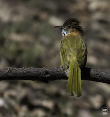 Mountain Bulbul (Dilip Photography) Tags: 2016 bulbul dilipgupta feb mountainbulbul pangot sattal bird photography