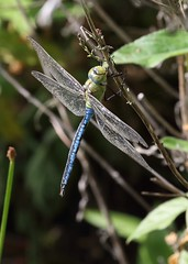 Emperor male (bcmp49) Tags: emperor odonta dragonfly northcave wildlifetust yorkshirewildlifetrust