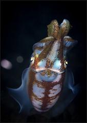 IMG_8861 (NonnaSP) Tags: animals bali bigfinreefsquid diving indonesia macro ocean sea sepioteuthislessoniana seraya snoot squid tulamben underwaterphotography water