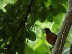 American Robin (timbo on the hill) Tags: dxo americanrobin bird columbus indiana millracepark tree tz60 usa summer 2016 green panasonic