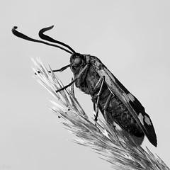 six-spot burnet (pen3.de) Tags: penf zuiko 60mmmakro natur wildlife naturlicht nachtfalter schmetterling widderchen blutströpfchen sw bw diagonal makro grasähre fühler punkte facettenaugen