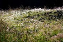 reggeli harmat / morning dew (debreczeniemoke) Tags: nyár summer erdő forest rét meadow gutin gutinhegység gutinmountains munţiigutin munţiigutâi reggel morning fű grass harmat drew olympusem5
