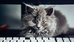 18.07.2016 (Fregoli Cotard) Tags: cat kitty british britishlonghair longhair fluffy puffy grey gray greycat greykitty kitten pet smallkitty meow growup baby babycat keyboard catonkeyboard dailyjournal dailyphotograph dailyphoto daily 366dailyproject 366daily everydayphoto everydayphotography everydayjournal aphotoeveryday 366 366project 366days photojournal photodiary photographicaljournal 199366 199of366