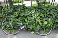 Bicycle nearly consumed by ivy - escape not likely (Monceau) Tags: bicycle covered ivy fence