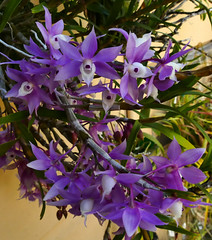 Dendrobium hercoglossum species orchid 7-16 (nolehace) Tags: summer nolehace sanfrancisco fz1000 716 flower bloom plant dendrobium hercoglossum species orchid