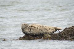 Grey Seal (lord wardlaw) Tags: grey seal north wales wildlife anglesey sony sigma mammal
