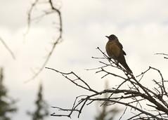Bird on dead branches (nicoangleys) Tags: tetons grandtetonsnp nationalpark wyoming jacksonhole schwabacherslanding