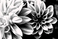 Boquitas pionas (Helena de Riquer) Tags: dalias dahlia asteraceae georgine dahlien macro macromondays plant flowers flores fleurs flors fiori outdoor garden jardn jard blackwhite bn bw hmm topf25 helenaderiquer topf50 2016 topf75 sony sonydsch20 carlzeiss topf100 100faves explore