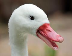 Coscorobaswan Berlin Zoo JN6A0615 (j.a.kok) Tags: berlijn berlin tierpark zoo bird vogel zwaan swan