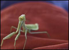 Mantis (onrivertime) Tags: preyingmantis 105mmf28dmicro california